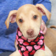 Diamond is a very playful, friendly, and sociable 3 month-old Beagle/Feist mix (with the emphasis on mix!) who has been enjoying life in a foster home along with her 8 siblings. They were born on August 22 about a week […]