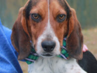 This little sad-sack is Drake, a 2.5 year-old Beagle boy, who sure knows how to tug at your heartstrings. This little guy found himself homeless at an overcrowded rural county dog shelter and made the trip to Canine Lifeline so […]