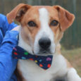 Greeley is a handsome 1 year-old Beagle/Collie mix male who found himself homeless at an overcrowded rural county dog shelter and made the trip to Canine Lifeline so he could take his time finding the perfect new home. We don't […]