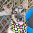 This incredibly beautiful dog with the most interesting markings is Jessie, a 9 month-old who looks like the perfect mix of German Shepherd and Catahoula Leopard Dog. We've never quite seen a dog like Jessie so she definitely stands out […]