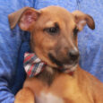 Lava is a very playful, friendly, and sociable 3 month-old Beagle/Feist mix (with the emphasis on mix!) who has been enjoying life in a foster home along with his 8 siblings. They were born on August 22 about a week […]