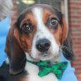 You'd be hard-pressed to find a happier little Beagle that our boy Norman. This 1 year-old cutie came into an overcrowded county dog shelter as a very thin stray. After a couple of weeks in a foster home to gain […]