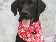 Lab lovers are going to be crazy about Nox! This handsome and very spunky 10 month-old Black lab mix found himself homeless at an overcrowded rural county dog shelter. We don't know what circumstances caused him to end up at […]