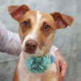 Opal is a very friendly and outgoing 3-4 year-old Feist mix who came to us as a pregnant stray in August from an overcrowded rural county dog shelter. She gave birth to 9 pups on August 22 in her foster […]