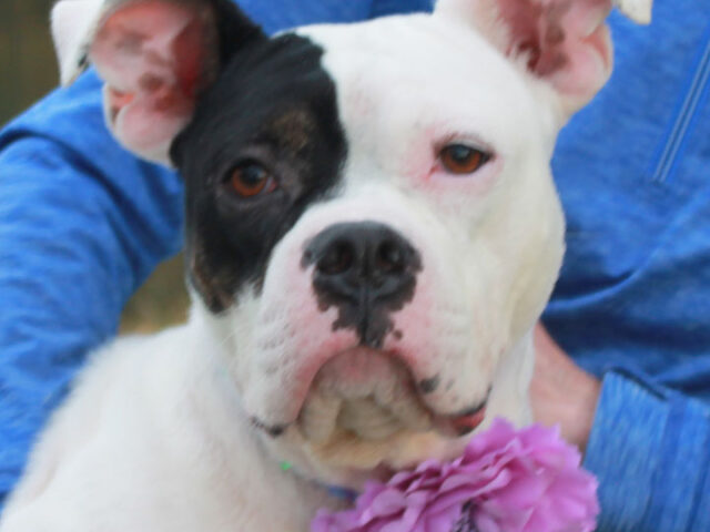 Polly is a phenomenal 3 year-old Boxer/American Bulldog mix with a heart of gold and a zest for life which is truly remarkable given the life she led before coming to Canine Lifeline. As odd as it may sound, her […]