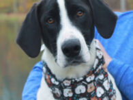 This big goofy lovable pup is Rascal, a 9 month-old who looks like he might have some Lab, Hound, and Pointer in his family tree. We don't have any history on this boy as he came to us from an […]