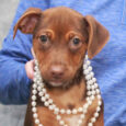 Ruby is a very playful, friendly, and sociable 3 month-old Beagle/Feist mix (with the emphasis on mix!) who has been enjoying life in a foster home along with her 8 siblings. They were born on August 22 about a week […]