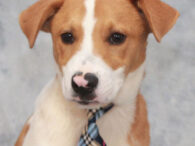 Sam is an adorable 5-6 month-old Beagle/Hound mix pup with the cutest pink nose. He found himself homeless at an overcrowded rural county dog shelter and made the trip to Canine Lifeline so he could take his time finding the […]
