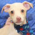 Sandy is a very playful, friendly, and sociable 3 month-old Beagle/Feist mix (with the emphasis on mix!) who has been enjoying life in a foster home along with his 8 siblings. They were born on August 22 about a week […]