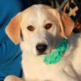 Sasha is a beautiful 10 month-old Great Pyrenees mix female with a very soft and velvety coat. She came to us as a stray from an overcrowded county dog shelter so we have no history on her pre-shelter life but […]