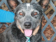 Cattle Dog lovers, meet Scotty, a handsome1.5 year-old with a bobtail who's a great representative of his breed. He found himself homeless at an overcrowded rural county dog shelter. We don't know what circumstances led to his becoming homeless or […]