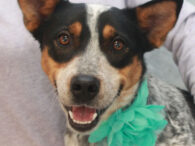 Stevie is a gorgeous 3 year-old Cattle Dog with a great disposition who found herself homeless after her owner died and no one in the family was able to take her in. She is a very friendly and outgoing girl […]