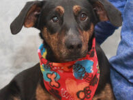 Troy is a very friendly and outgoing 1 year-old Beagle/Mountain Cur mix male who came to Canine Lifeline via an overcrowded rural county dog shelter. We don't know what circumstances led to Troy ending up at the shelter but we […]