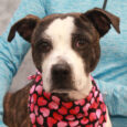 Cecelia is a loving and affectionate 1 year-old Boxer mix girl who came to us from an overcrowded county dog shelter. We don't have any history on her pre-shelter life or how she came to be at the shelter. Cecelia […]