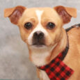 Chewy is a super-cute 1.5 year-old little Pug/Chihuahua mix neutered male who lost his home because of his owner's ill-health. When his owner could no longer care for him, her extended family took Chewy to the local county dog pound. […]