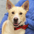 Meet Gordon, a handsome 2 year-old boy who looks like a mix of Husky and Lab. He found himself homeless at an overcrowded rural county dog shelter. We have no information as to how he ended up at the shelter […]