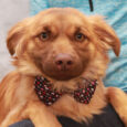 Thjs shy but very sweet little 2 year-old Spaniel mix boy is Joey. He found himself homeless at an overcrowded rural county dog shelter and came to Canine Lifeline so he could take his time finding the perfect new home. […]