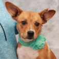 This beautiful little 10 month-old girl is Minnie, a true Heinz-57 who found herself homeless at an overcrowded rural county dog shelter. We don't know what circumstances led to Minnie being at the shelter nor do we have information as […]