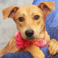 Rachel is an adorable 1 year-old Retriever mix girl who came into an overcrowded rural county dog shelter along with her siblings, Lacy and Chuckles. We have no history on their pre-shelter life but the pups were very frightened at […]
