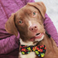 Looking to add some puppy energy to your life? Rider is ready to do just that! This adorable 8 month-old Chocolate Lab mix pup found himself homeless at an overcrowded rural county dog shelter and made the trip to Canine […]