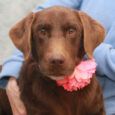 Meet Sadie, a beautiful 3 year-old Chocolate Lab who was surrendered by her family along with her buddy Titus, a 5 year-old Black Lab, when their family could no longer care for them. In their previous home, Sadie and Titus […]