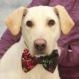 You'd be hard-pressed to find a sweeter dog than our boy Sam. This lovable 2 year-old Yellow Lab/Mountain Cur mix male came to us from an overcrowded county dog shelter so he could take his time finding the perfect new […]