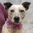 Amelia is a very sweet and lovable 2 year-old Cattle Dog mix female with lots of spots who came into an overcrowded county dog shelter as a stray. When she wasn't claimed there, she made the trip to Canine Lifeline […]