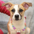 Looking to pick up the pace at your house? Ariel, our 10 month-old Feist/All-American Mutt mix is up to the challenge! This adorable and very outgoing pup was at an overcrowded rural county dog shelter before coming to Canine Lifeline […]