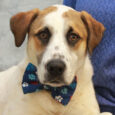 This handsome 2 year-old guy is Benji. He came to us from an overcrowded rural county dog shelter but we don't know if he was an owner surrender or a stray. All we know that is he came into the […]