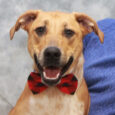 If you're active, energetic, and love to play, then you might be the perfect match for our big boy Blue! This 16 month-old pup who looks like a mix of Blue Heeler and Lab is a fun-loving, affectionate young guy […]