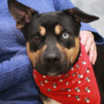 Bobby is a very friendly and sociable 1 year-old Husky, Lab, Shepherd, Rottie, you name it mix! There are probably a lot of branches in his family tree with his cute mismatched ears and one blue eye! Bobby came […]