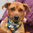 Brownie a very friendly and outgoing 2 year-old little guy who looks like he might be a mix of Beagle and Doxie. He came to us from a county dog shelter so we have no history on his pre-shelter life […]