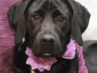 This beautiful girl is Cora, a 1 year-old Black Lab/Beagle mix female who loves everyone and everything. Hard to believe that this friendly girl was homeless at an overcrowded county dog shelter but that was indeed her plight. From the […]