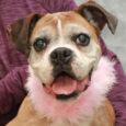Meet Diamond, a very spry and loving 11-12 year-old Boxer who has lots of spunk for a senior. This lovely lady found herself homeless at an overcrowded county dog shelter. The shelter was able to locate her owners but they […]