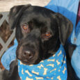 Dorian is a handsome 2 year-old Black Lab mix who's short, stocky, and a solid 57 pounds. He was found as a stray and taken to an overcrowded county dog shelter. When he wasn't claimed there, he made the trip […]