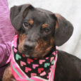 Ellie is a cute and very photogenic 8 month-old girl who looks like a mix of Beagle and Mountain Cur. She came to us from an overcrowded county dog shelter so she could enjoy life in a foster home while […]