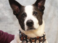 Meet Jack, a very handsome and well-mannered 8 year-old Shepherd/Cattle Dog mix neutered male who was surrendered to a county dog shelter when his owner could no  longer care for him. Apparently, his family now has a 6 month-old baby […]