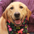 Myla has it all—great looks and a fabulous disposition! This 11 month-old Lab/Golden mix female was surrendered to a county dog shelter by her owner who could not provide her with the type of active lifestyle that she needs. Myla […]