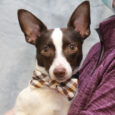 Small dog lovers are going to be crazy about our boy Nova! This little 2 year-old Terrier/Chihuahua mix male was surrendered to a county dog shelter by his family who was moving and said they couldn't take Nova with them. […]