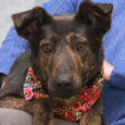 Meet Onyx, a beautiful 2 year-old Shepherd/Mountain Cur mix spayed female, with beautiful markings and a very gentle disposition. She was surrendered to an overcrowded rural county dog shelter by her owner who could no longer care for her. We […]