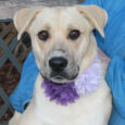 Shyla is a beautiful 1 year-old girl who looks like she might be a mix of Shepherd and Lab although we don't know for sure as she came into a county dog shelter as a stray along with her buddies […]