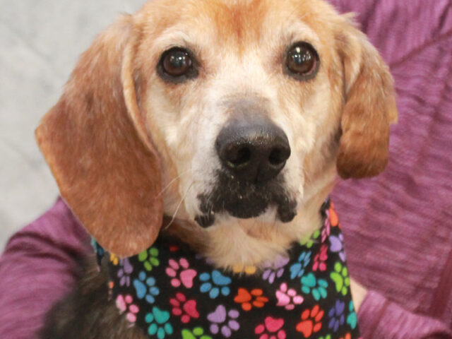 This wonderful boy is Tony, a 7-8 year-old Beagle mix who has had a hard life. He was found as a stray and taken to the local shelter. Not surprisingly, he wasn't claimed there so made the trip to Canine […]