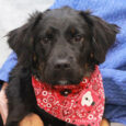 Uli is a beautiful 1 year-old Aussie/Flat-coated Retriever mix spayed female who is looking to make a fresh start with a new family. Given her tri-colored markings, there might be a little Bernese Mountain Dog in her family tree too. […]