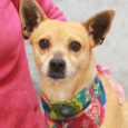Meet Chloe, a beautiful, calm, and gentle 3 year-old Chihuahua mix girl who was found as a stray and made her way to Canine Lifeline when she wasn't claimed at the local shelter. While we don't have any history on […]