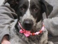 Coral is a lovely 1 year-old Blue Heeler/Lab mix female who was surrendered to a county dog shelter along with five other dogs including her sister Glory. The shelter told us that these dogs had lived outdoors and had limited […]