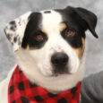 This handsome and very photogenic big guy is Diesel, a 2.5 year-old Great Pyrenees/Border Collie mix. He has double dewclaws characteristic of a Great Pyr along with a definite stubborn streak which the breed is also known for. Diesel is […]