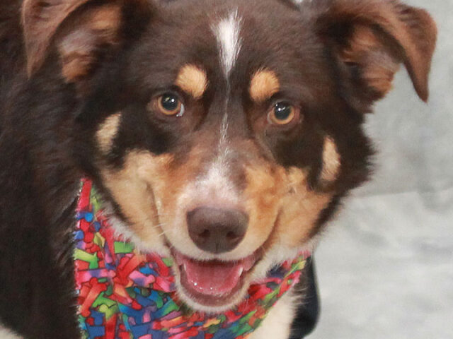 Echo is a gorgeous 2 year-old Aussie mix with a bobtail who came to us from a rural county dog shelter after having been shot multiple times both in the face and torso. This sweet dog has no doubt had […]