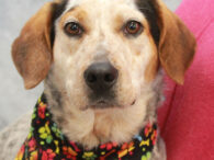 This very handsome gentleman with the coat of many colors is Gulliver. He found himself homeless at an overcrowded rural county dog shelter and made the trip to Canine Lifeline so he could have fun in a foster home while […]