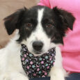 Meg is one of three 7 month-old Aussie/Border Collie mix sisters who came to Canine Lifeline to find wonderful new homes. They were part of an unwanted litter who their owner was not able to find homes for. Fortunately, the […]