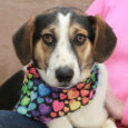 Misty is a gentle 7 month-old Aussie/Border Collie mix girl who looks like she might have some Beagle in her family tree too. She and her sisters were part of an unwanted litter that her owner could not find homes […]